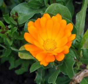cvet nevena