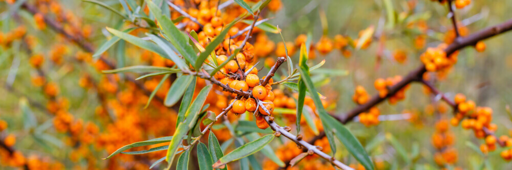 Plod vučijieg trna - Hippophae rhamnoides