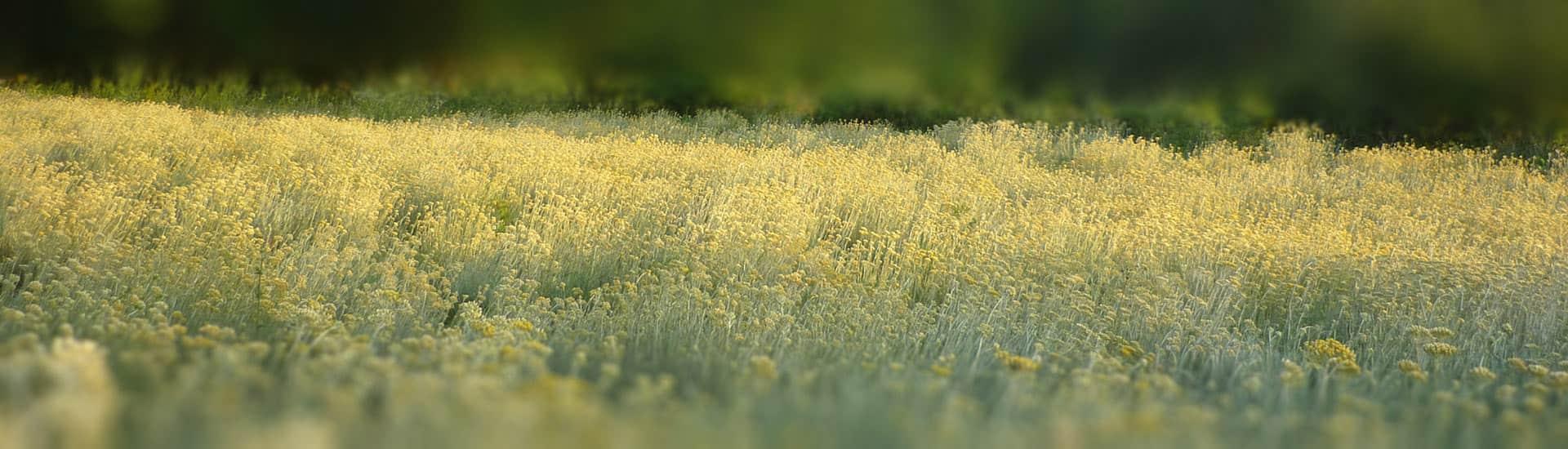 Polje Smilja - Helichrysum Italicum