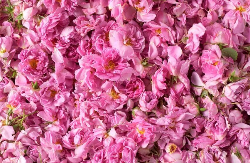 Priprema za upotrebu latice ruže damscena za ružinu vodicu