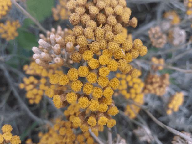Cvet Smilja pred berbu u Julu