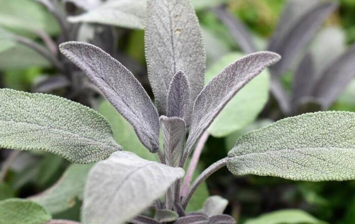 List žalfije - Salvia officinalis