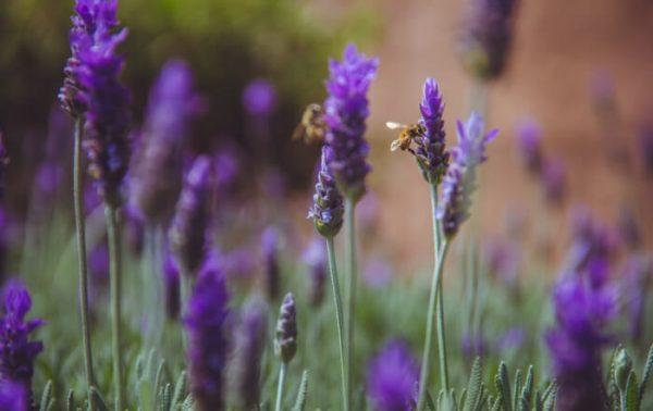 cvet lavande - Lavandula angustifolia