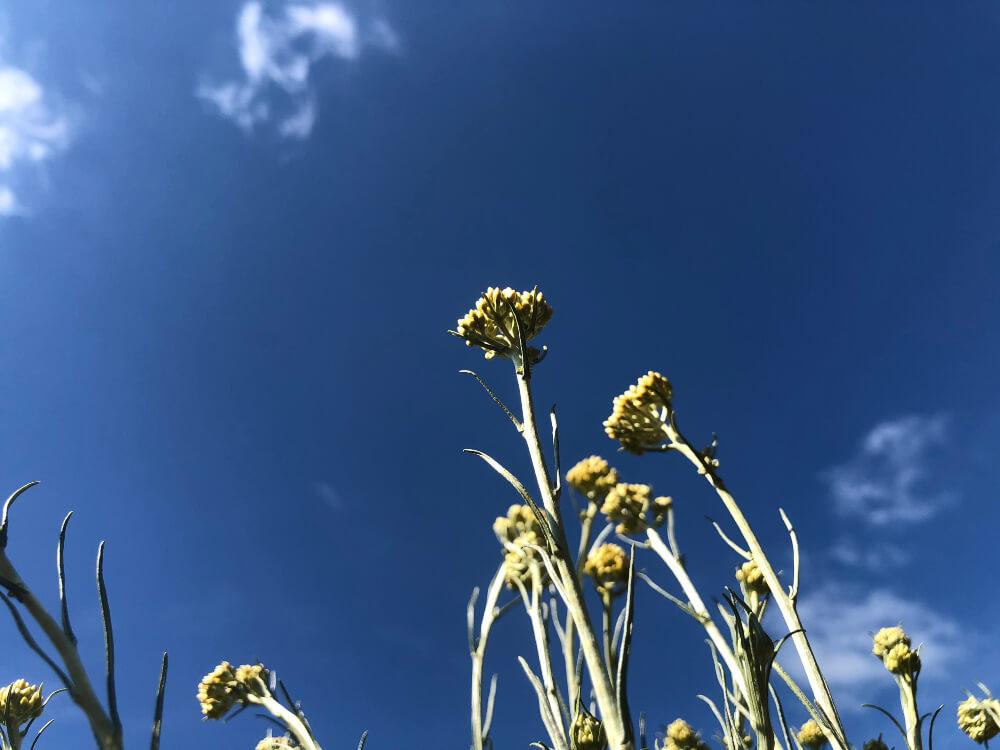 Smilje - Helichrysum Italicum