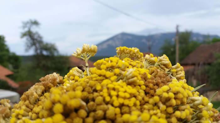 Smilje sa planine Rtanj